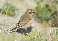 Northern Wheatear - Oenanthe oenanthe - juvenile
