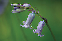 Bluebell<br /> <br /> Copyright www.scottishhorizons.co.uk/Keith Fergus 2011 All Rights Reserved