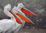 Purely Pelicans