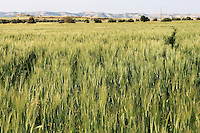 Stock photo: Wheat crops overlooking hills in Cyprus.