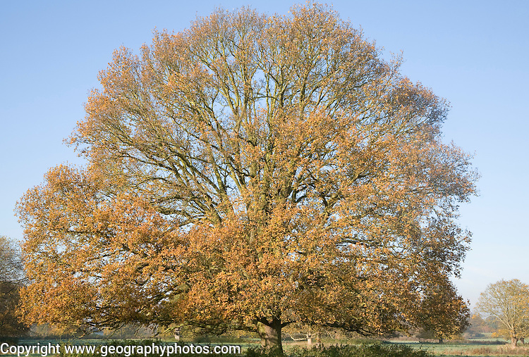 Large lime tree in autumn leaf standing if field, Sutton, Suffolk, England