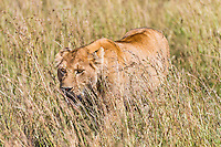 Lioness stalking warthog and walking in a low crouch through long savanna grass of the Masai Mara Reserve, Kenya, Africa (photo by Wildlife Photographer Matt Considine)