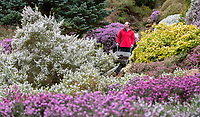BNPS.co.uk (01202) 558833. <br /> Pic: CorinMesser/BNPS<br /> <br /> Up among the heather...<br /> <br /> Gardener Joseph Coogan at work in the Heather Gardens Compton Acres. <br /> <br /> In the years following WWII the Heather Gardens where installed to replace the previous feature of a cactus and succulent collection which had required far more man power to upkeep than could be spared during the war. <br /> <br /> Compton Acres, which sits above Sandbanks in Dorset, is a popular tourist attraction which celebrates its centenary year in 2020.