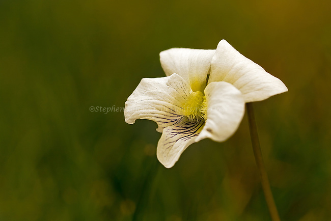 A white form of the Common Blue Violet with some nice bokeh for the background.