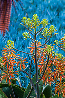 Aloe maculata (A. saponaria) Soap aloe or zebra aloe; spotted leaf orange flowering succulent in Leaning Pine Arboretum in front of Senecio serpens, Blue Chalksticks