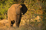 African Elephant (Loxodonta africana) bull, Greater Makalali Private Game Reserve, South Africa
