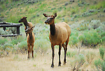 An elk with two calves  in Yellowstone National Park,
