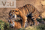 Sumatran Tigers mating. ,Panthera tigris,