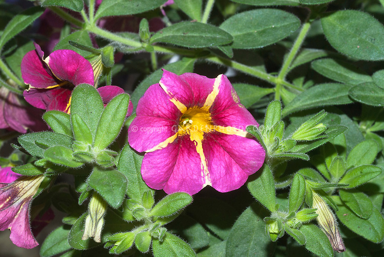 Callibrachoa Superbells Cherry Star striped pink and yellow flowers