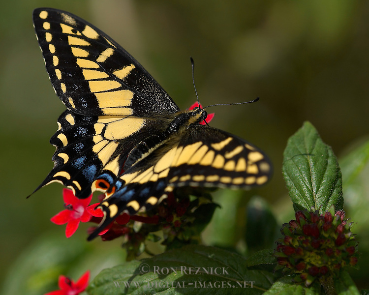 Anise Swallowtail, Papilio zelicaon, Southern California