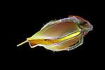Waterflea (Daphnia magna), a common freshwater planktonic Crustacean. SEM.