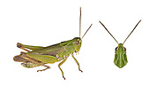 Common Green Grasshopper - Omocestis viridulus