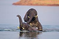 African Elephant (Loxodonta africana) males playing (dominance behavior) in Lake Kariba, Zimbabwe.