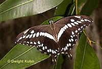 LE45-504z  Constantine's Swallowtail Butterfly, Papilio constantinus