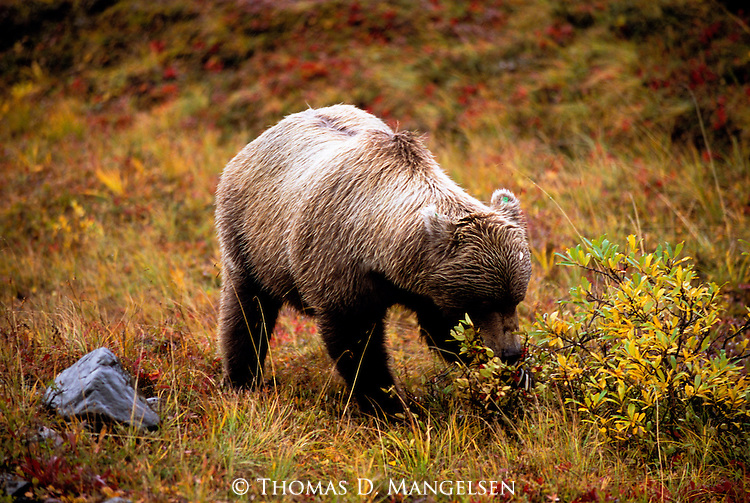 Grizzly Bear (Ursus arctos) Denali National Park, AK