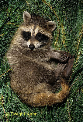 MA25-242z  Raccoon - young raccoon resting - Procyon lotor