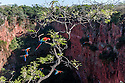 Red-and-Green Macaws or Green-winged Macaws (Ara chloropterus) (Family Psittacidae) perched and in flight over Buraco das Araras, the Sinkhole of the Macaws, Jardim, Mato Grosso do Sul, Brazil. September.
