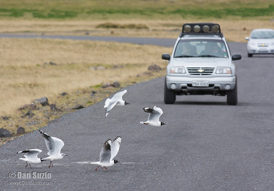 Andean gulls, Larus serranus, crossing in front of a car at Antisana Ecological Reserve, Ecuador