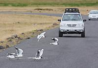 Andean gulls, Larus serranus, crossing in front of a car at Antisana Ecological Reserve, Ecuador