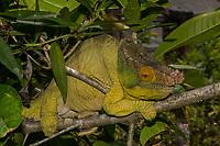 Africa; Madagascar, Analamazaotra special reserve in Andasibe-Mantadia National Park. Male Parson's chameleon.