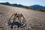 A tarantula spider on the road in Valley of Fire state park in Southern Nevada about 2 hours outside of Las Vegas.
