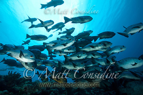 The amazingly clear water of Palau gives the water a vast range of blues. A school of black snapper swims by, Palau Micronesia. (Photo by Matt Considine - Images of Asia Collection) (Matt Considine)