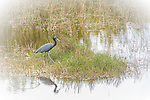 Little Blue Heron Patrolling the marsh in 10,000 Islands Nature Preserve, The Everglades.