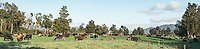 Cows on farmland with old totara trees in Whataroa, South Westland, West Coast, New Zealand, NZ
