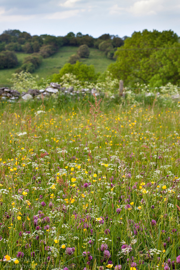 Traditional flower-rich hay meadow including Yellow Rattle (Rhinanthus minor), Buttercup {Ranunculus acris}, Red Clover (Trifolium pratense) and host of different grasses. Peak District National Park, Derbyshire, UK. June.