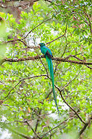 resplendent quetzal, Pharomachrus mocinno, adult male with an insect on a tree branch, Costa Rica, Central America