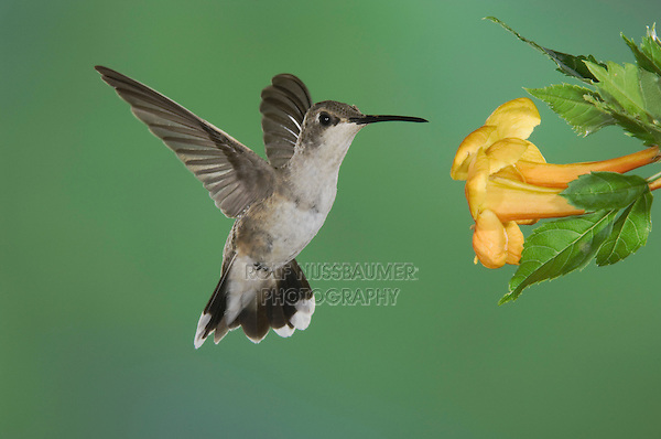 Black-chinned Hummingbird, Archilochus alexandri, female feeding on Yellow Trumpet Flower(Tecoma stans) ,Tucson, Arizona, USA, September 2006