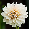 Dahlia 'Cafe au Lait', late September.