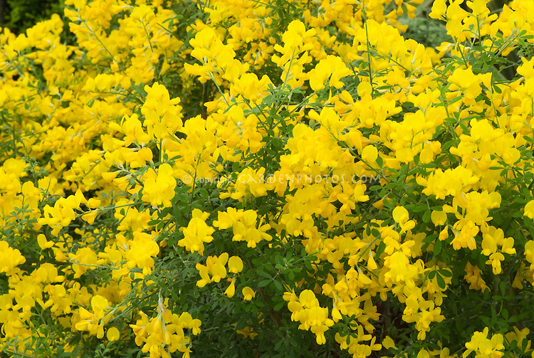 genista x spachiana in flower plant flower stock