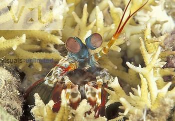 Mantis Shrimp eyes, antennae, and forelimbs ,Odontodactylus scyllarus,. Indonesia