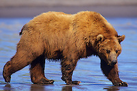 Grizzly bear or coastal brown bear walking on sandy beach.  Alaska.