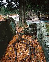 A cedar tree overlooks McDonald Creek in the fall,GLACIER NATIONAL PARK, Montana