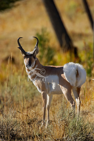 Pronghorn (Antilocapra americana) buck displaying rump patch (making hair stand up).  This display is a warning to other pronghorn and the white patch can be seen for miles.  Usually used to warn of possible predators.