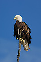 00370-013.16 Bald Eagle (DIGITAL) adult is perched on dead tree against blue sky.  Bird of prey, raptor, predator, bird, birding.  V4F1