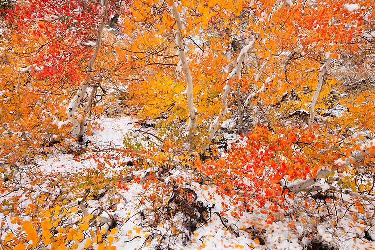 Aspen covered in first snowfall of the season. Inyo National Forest. Inyo County, CA.