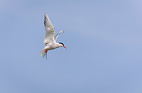 Arctic Tern in breeding colors in flight against blue sky