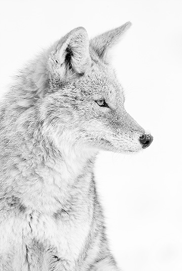 Coyotes are a common sight during Yellowstone's long winter.<br /> <br /> This image is also available in color.