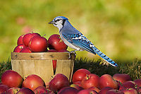 Blue Jay (Cyanocitta cristata) in autumn backyard with MacIntosh apples. Nova Scotia. Canada.