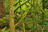 moss covered trees in od growth coastal temperate rain forest <br /> <br /> Cathedral Grove (McMillan Provincial Park)<br /> British Columbia<br /> Canada