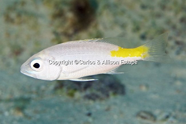 Lutjanus buccanella, Blackfin snapper, Florida Keys