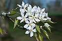 Blossom of Pyrus pyrifolia, late March. Also known as Asian or nashi pear.