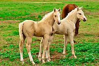 Colts, Black Hills Wild Horse Sanctuary near Hot Springs, South Dakota USA