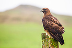 Red-tailed Hawk (Buteo jamaicensis) western race, Point Reyes National Seashore, California