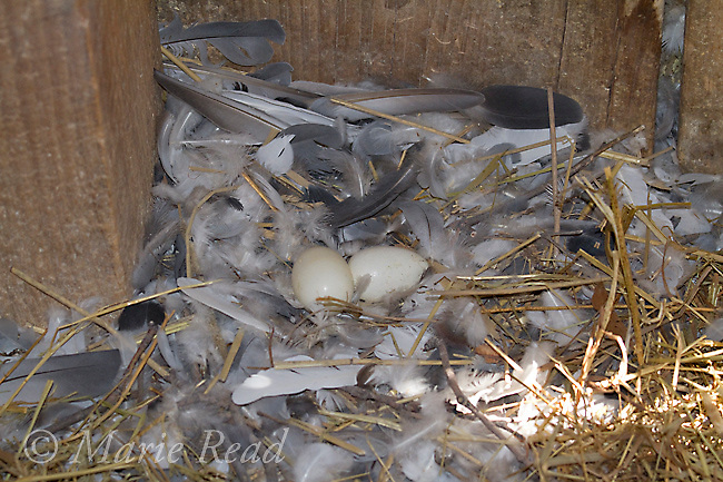 Rock Pigeon (Columba livia) nest with two eggs, Aurora, New York, USA