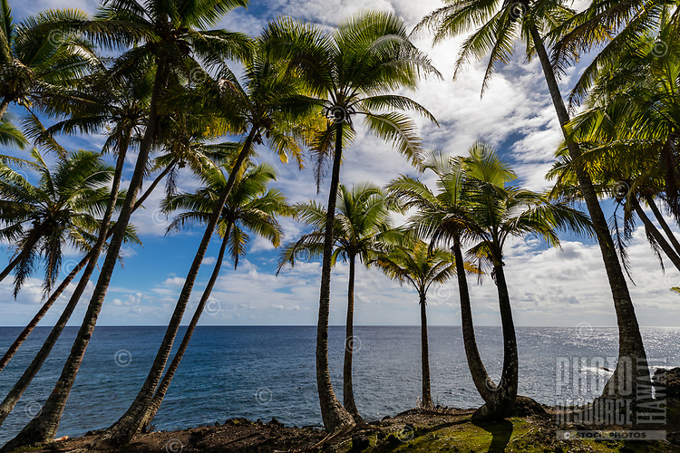 This particular section of the Puna coastline is lined with palm trees, Big Island of Hawai'i.