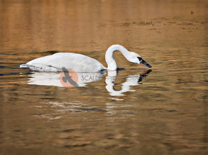 Trumpeter Swan feeding in the Madison River in Yellowstone National Park
